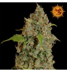 Chronic Thunder / Barney's Farm