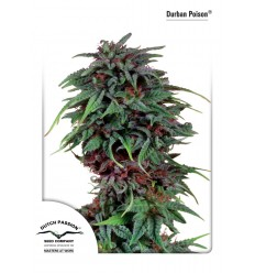 Durban Poison / Dutch Passion
