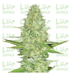CBD Super Silver Haze / Life Seeds