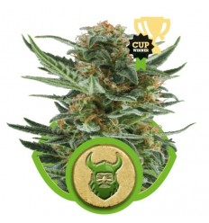 Royal Dwarf Automatic / Royal Queen Seeds