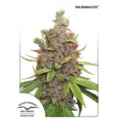 Auto Glueberry O.G. / Dutch Passion