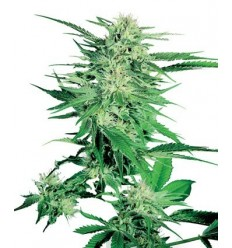 Big Bud / Sensi Seeds