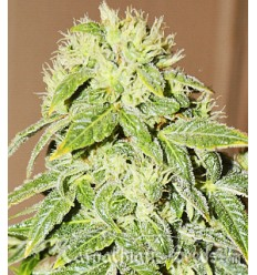 Auto Black Chere / Carpathians Seeds