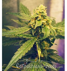 Auto Black Tisa / Carpathians Seeds