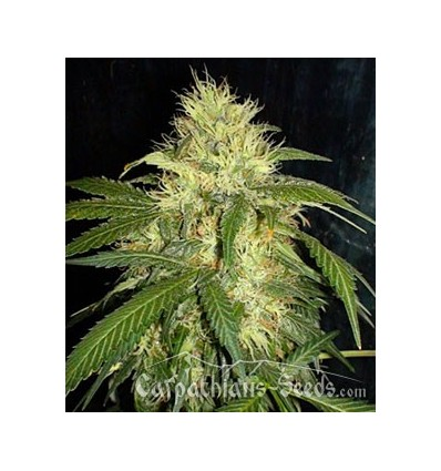 Auto Carpathian Skunk / Carpathians Seeds