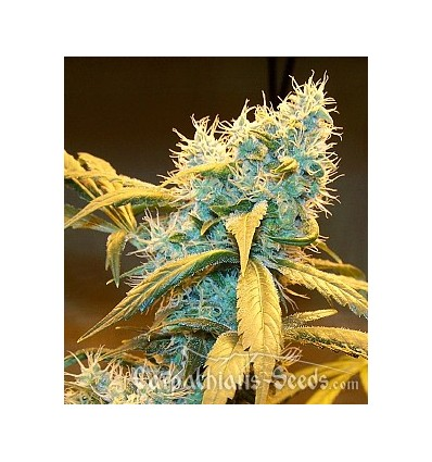 Auto Northern Blue / Carpathians Seeds