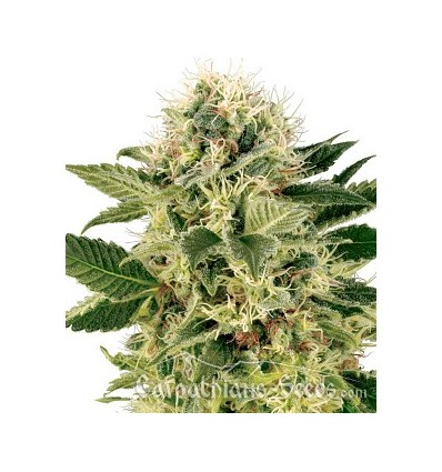 Auto Northern Lights / Carpathians Seeds
