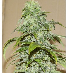 Auto White Chere / Carpathians Seeds
