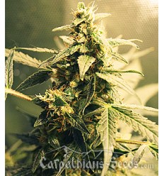 Auto White Tisa / Carpathians Seeds