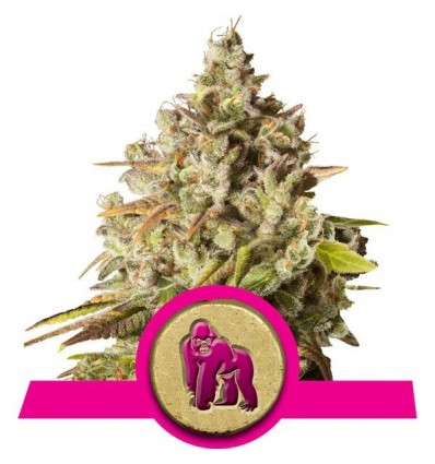 Royal Gorilla / Royal Queen Seeds