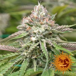 Peyote Critical (Limited Edition)